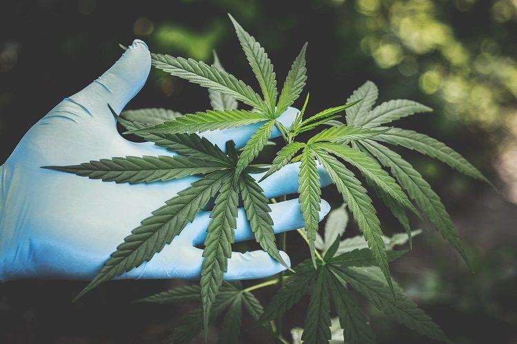 Flor_Cannabis